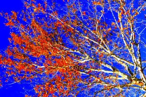 white birch on blue