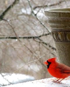 birds cardinal 3
