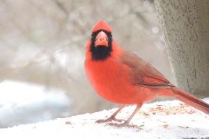 birds cardinal 6
