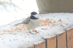 birds little chickadee