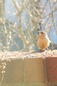 birds wren 2