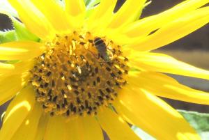 sunflowerbug