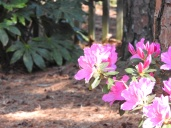 Azaleas are blooming