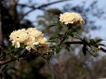Yelllow roses