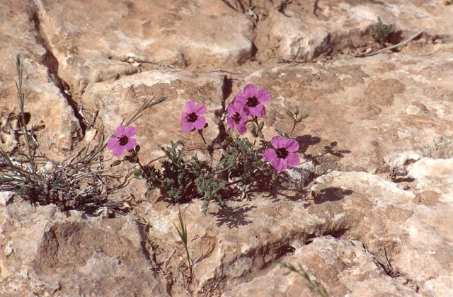 purple desert flower